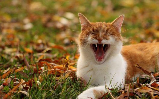 Обои Зевающий кот лежит на траве