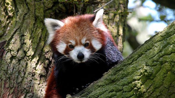 Обои Красная панда на дереве