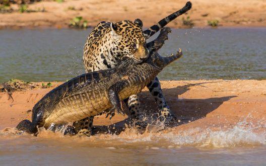 Обои Леопард в борьбе с крокодилом