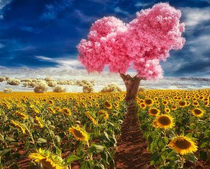 Обои Розовое цветущее дерево в поле подсолнухов, ву Pedro