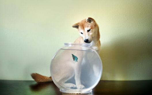Обои Собачка наблюдает за рыбкой в аквариуме
