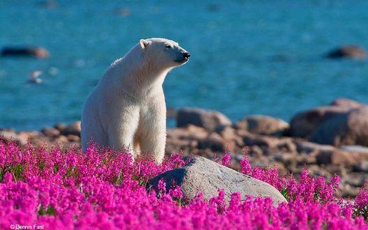Обои Белый медведь стоит возле полевых, розовых цветов, на фоне моря