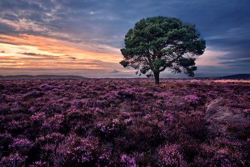 Обои Дерево, растущее в лавандовом поле