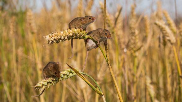 Обои Мышки полевки сидят на колосьях