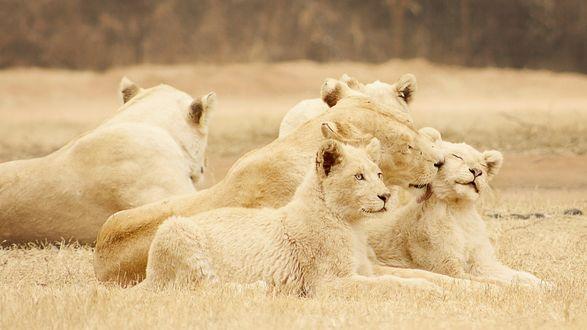 Обои Львиный прайд на природе