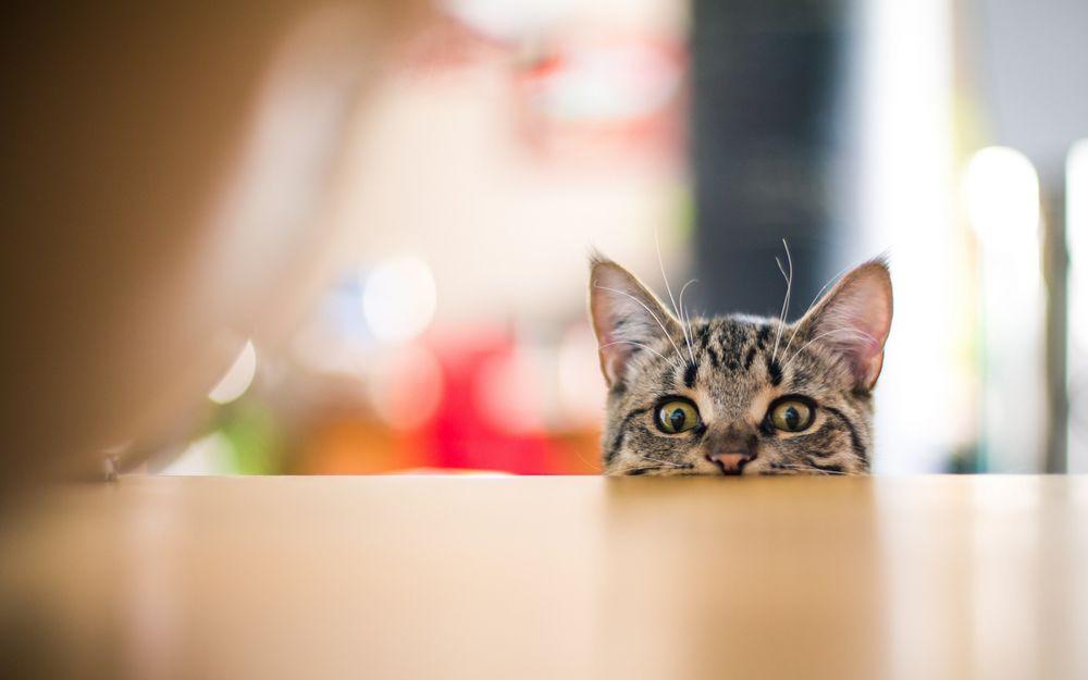 На рабочий стол коты выглядывают