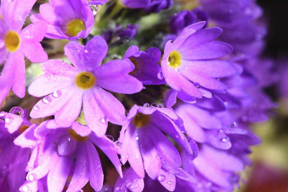 Цветы сиреневые картинки