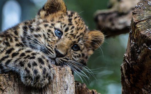 Обои Красивый детеныш леопарда