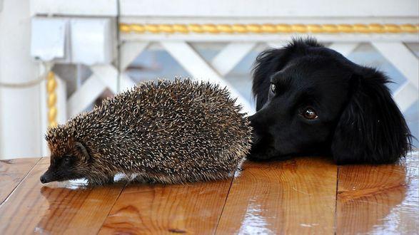 Обои Любопытный пес и ежик