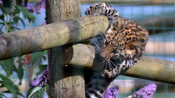 Обои Леопард перелазит через забор
