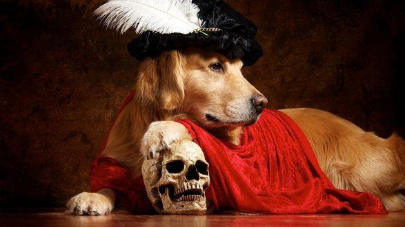 Обои Собака породы золотистый ретривер в старинной шляпе положила лапу на череп