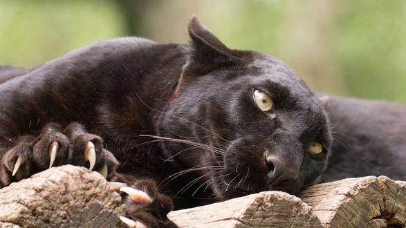 Обои Черный леопард лежит на бревнах