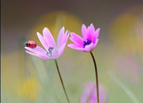 Обои Божья коровка на нежном розовом цветке