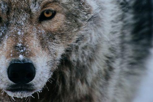 Обои На морде волка снег, фотограф Иван Кислов
