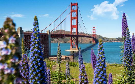 Обои Сан-Франциско, США, синие цветы на фоне моста Золотые Ворота