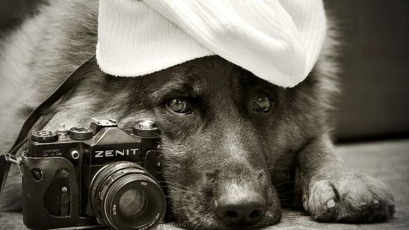 Обои Пес породы немецкая овчарка с фотоаппаратом и кепкой на морде