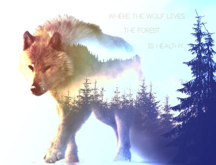 Обои Полупрозрачный волк на фоне леса, (Where the wolf lives, the forest is healthy), работа simanunan