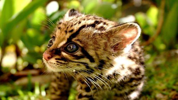 Обои Милая мордашка детеныша леопарда
