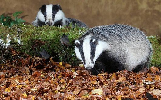 Обои Барсуки ищут себе пищу для заготовки на зиму