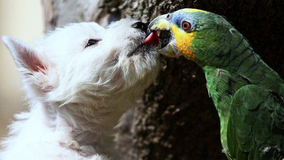 Обои Верные друзья, собака породы вест хайленд терьер и попугай ара, целуются
