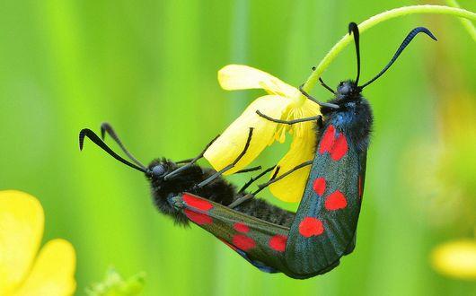Обои Две черные бабочки в красных пятнышках сидят на желтом цветке