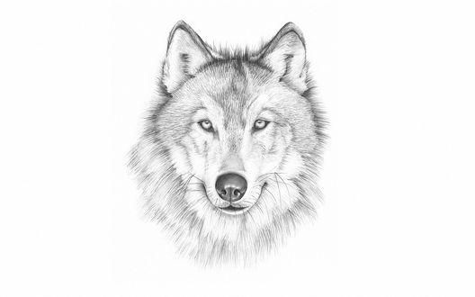 Обои Рисунок карандашом головы волка на белом фоне