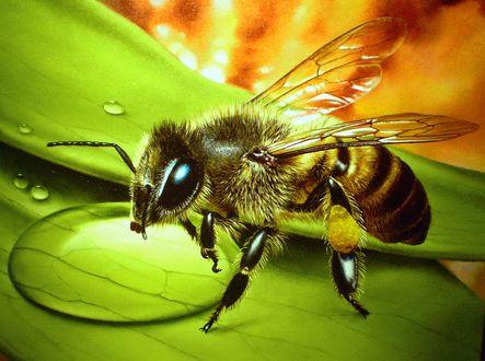 Обои Пчела пьет воду с капли на зеленом листе, Сергей Кузьмин