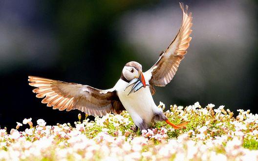 Обои Птица тупик с несколькими рыбинами в клюве, приземляется на цветущий луг