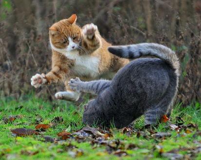 Обои Два дерущихся кота, ву mats hamnas