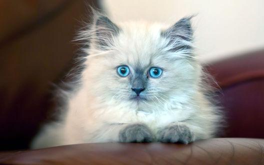 Обои Сиамский голубоглазый пушистый котенок