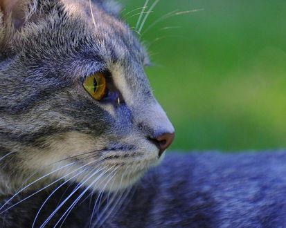 Обои Серый кот смотрит в сторону