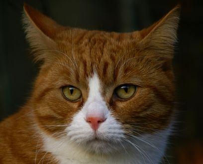 Обои Мордочка рыжего кота, ву Mats HamnГ¤s