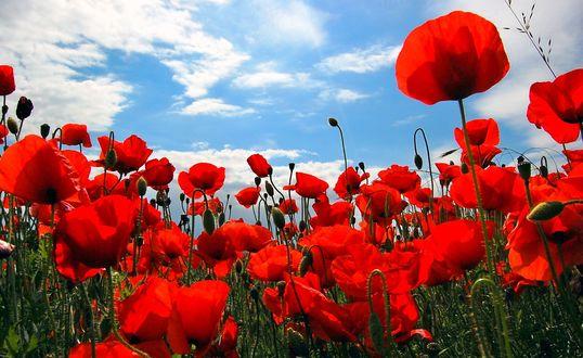 Обои Красные маки под голубым небом