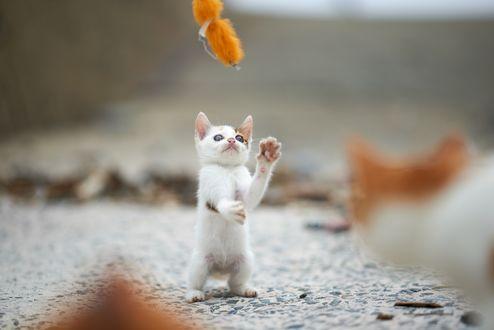 Обои Котенок, стоя на задних лапках пытается схватить игрушку