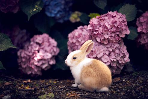 Обои Крольчонок сидит возле цветов гортензии