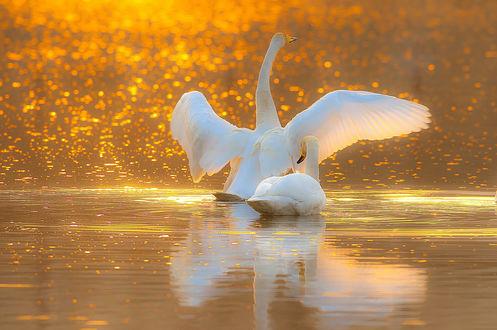 Обои Лебеди на воде, ву B. K. Ahn