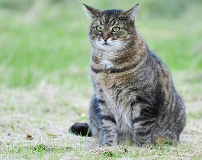 Обои Серый кот сидит на траве
