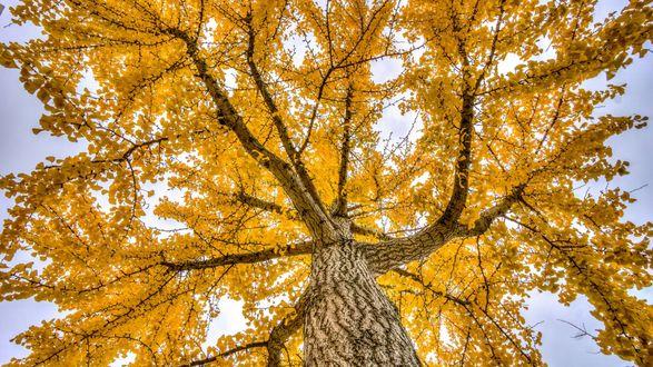 Обои Крона дерева с осенними листьями