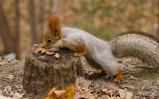 Обои Белочка лакомится орешками, лежащими на пне в лесу