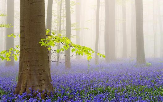 Обои Много фиолетовых цветов растет в лесу среди деревьев, окутанных туманом
