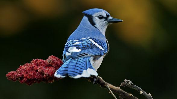 Обои Синяя птица сидит на ветке на размытом зеленом фоне