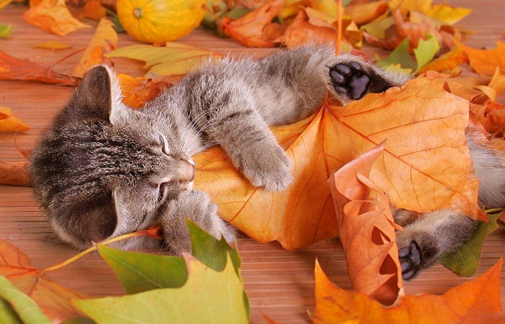 Обои для рабочего стола Котенок уснул, приобняв пожелтевший осенний лист