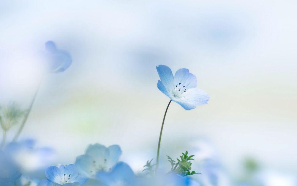 Цветы нежные голубые