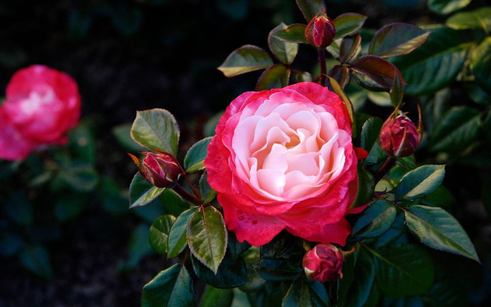 Красивые обои розы