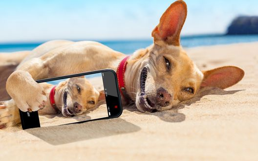 Обои Чихуахуа делает селфи на пляже
