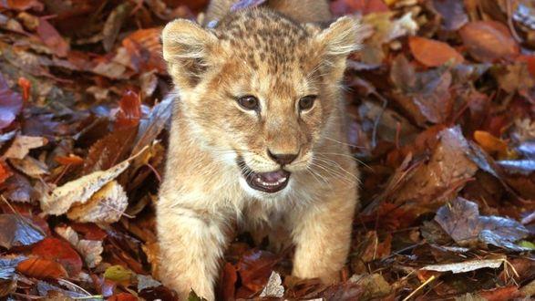Обои Львенок лежит на опавших осенних листьях