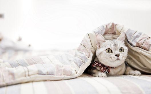 Обои Кот лежит под одеялом