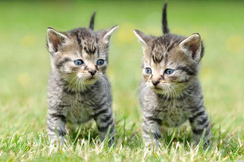 Обои Маленькие полосатые котята бегут по траве