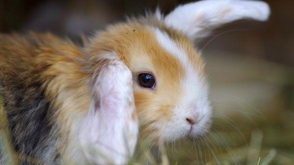 Обои Лопоухий кролик на размытом фоне