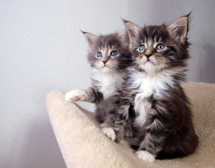 Обои Два милых пушистых котенка сидят